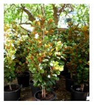Pittosporum Hedge Varieties for Sale | Online Plants Australia