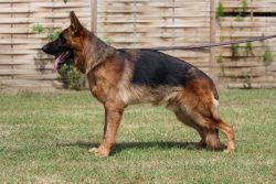Fully Trained German Shepherds for Sale