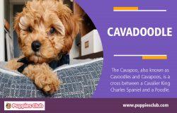 Cavadoodle | puppiesclub.com