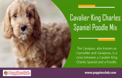 Cavalier King Charles Spaniel Poodle Mix | puppiesclub.com