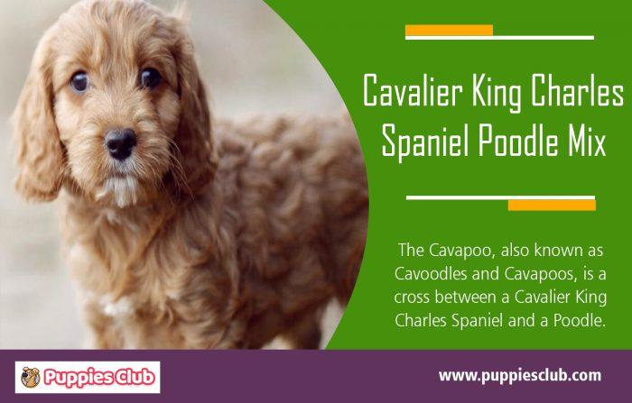 Cavalier King Charles Spaniel Poodle Mix | puppiesclub.com