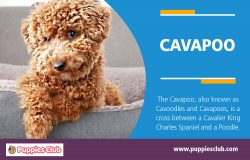 Cavapoo | puppiesclub.com