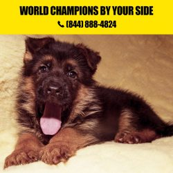 German shepherd Litters for Sale in California