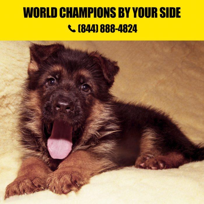 German shepherd Litters for Sale in California