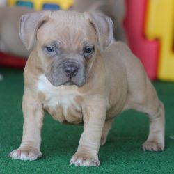 Real American Pitbull Terrier Breeder