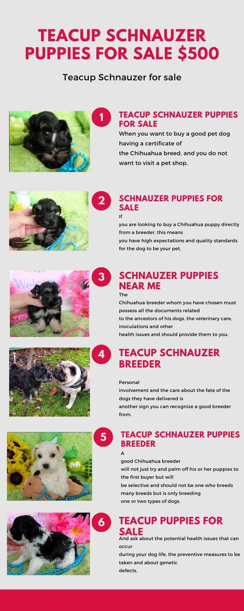 Schnauzer puppies near me