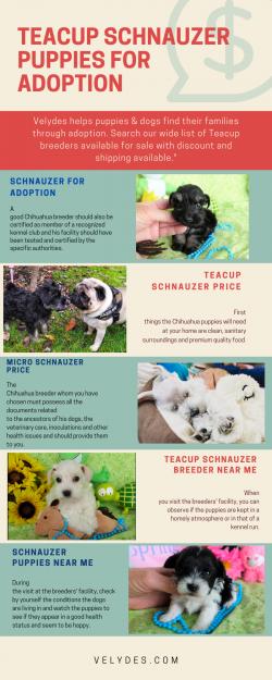 Teacup Schnauzer puppies for adoption