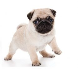 Pug puppies for sale in Dubai
