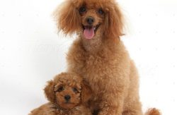 Poodle puppies for sale in Dubai