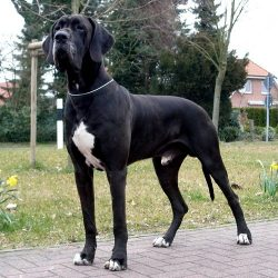 Great Dane Mix Puppies for Sale at Best Prices