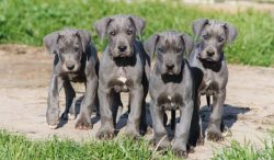 Blue Great Dane Puppies for Sale in US