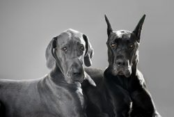 Are You Searching for European Great Dane Puppies?