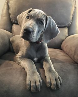 Great Dane Puppies for Sale at Cheap Prices in US