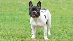 French Bulldog Puppies for Sale – Central Park Puppies