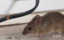 Rat control vancouver