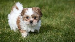 Shih Tzu Puppies for Sale – Central Park Puppies