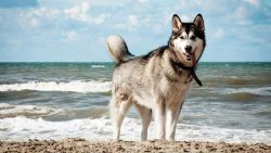Siberian Husky Puppies for Sale – Central Park Puppies