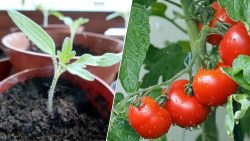Tips for Growing the Best Tomatoes Ever By john deschauer