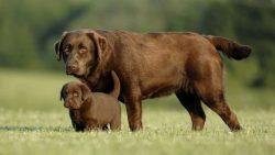 Labrador Retriever Puppies for Sale – Central Park Puppies