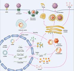 An Oral Hepatitis B Virus Capsid Inhibitor – Protheragen