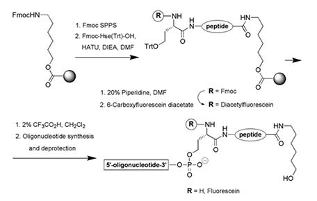 Peptide-oligonucleotide Conjugation – Creative Peptides