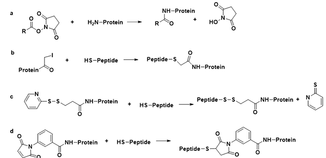 Peptides-Carraier Protein Conjugation – Creative Peptides
