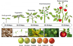 Tomato Plant Growing Timings | John Deschauer