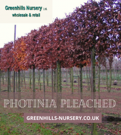 Photinia Pleached – Greenhills Nursery