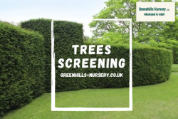 Trees Screening – Greenhills Nursery
