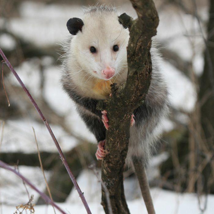 possum in my house