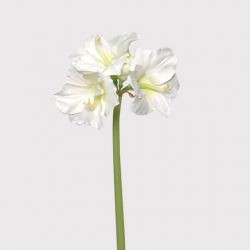GIANT WHITE AMARYLLIS