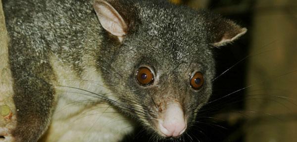 Rat Contro on Catcher in Sydney