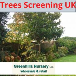 Trees Screening UK-Greenhills Nursery