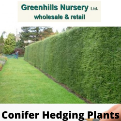 Conifer Hedging plants for sale in UK-Greenhills Nursery