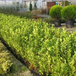 Evergreen Hedging Plants UK-Greenhills Nursery