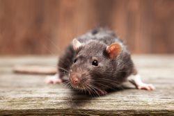 Rat control delta