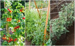 Methods to Support Tomato Plant | John Deschauer