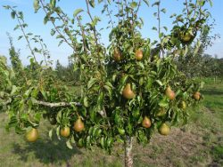 Organic fruit tree nursery UK-Greenhills Nursery