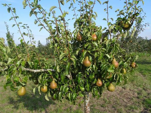 Organic fruit tree nursery UK-Greenhills Nursery