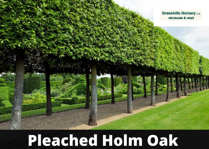 Pleached Holm Oak UK-Greenhills Nursery