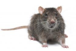 Rat Control Maple Ridge