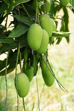 Mango Leaves for Fertility – A2Z Lifestyle