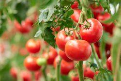 The Expert Tomato Business Tips By John Deschauer