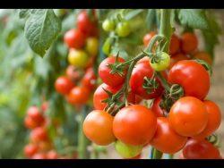 Tomatoes Grown from Seeds | John Deschauer