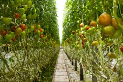Tomato Greenhouse in Canada | John Deschauer