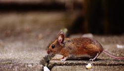 Top-Notch Rat Control Service in Delhi