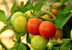 Tomatoes Seedlings By John Deschauer