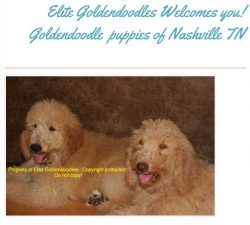 Goldendoodle puppies Tennessee