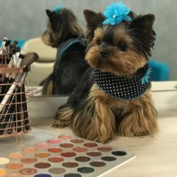 Yorkie Terrier Puppies For Sale