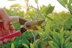 What Is the Purpose of Pruning Trees or Their Benefits?